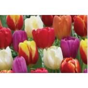 Canada Tulips