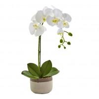 One Phalaenopsis Orchid